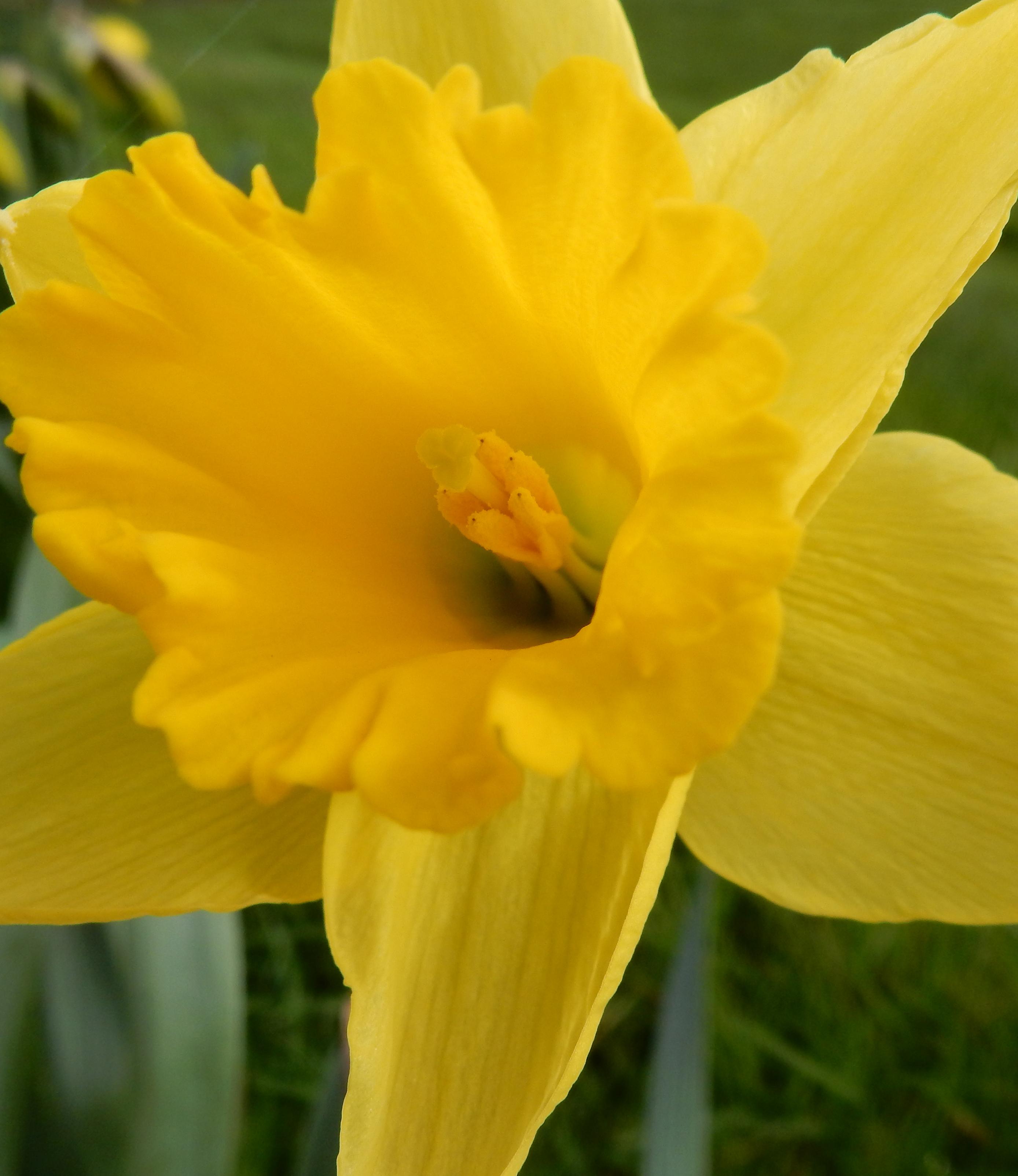 Trompet Narcis